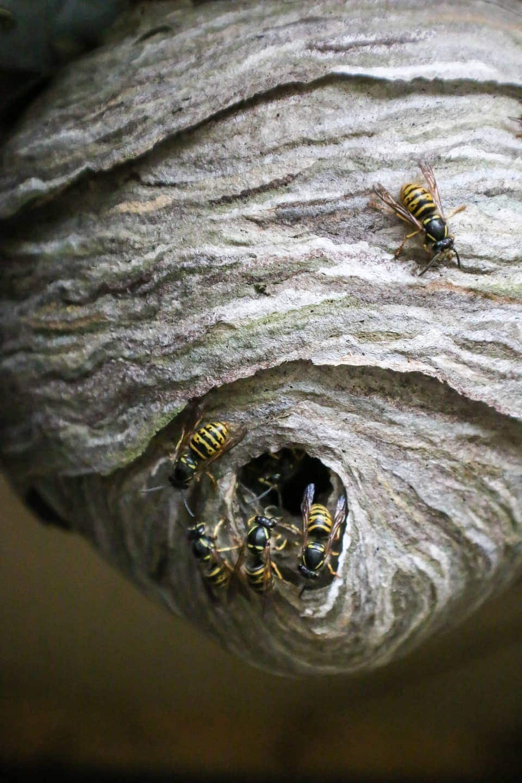 Wann Sterben Wespen Im Herbst